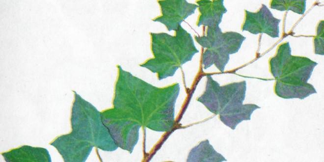 Особенности лекарственного растения плюща обыкновенного