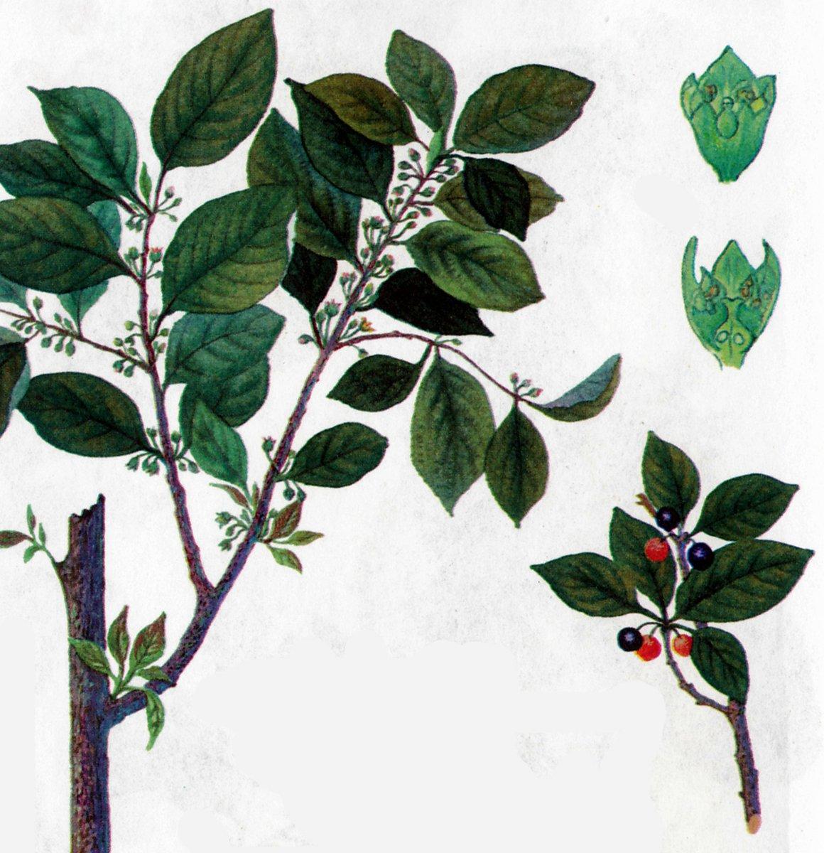 жостер слабительный ботаническая картинка можно запечатлеть