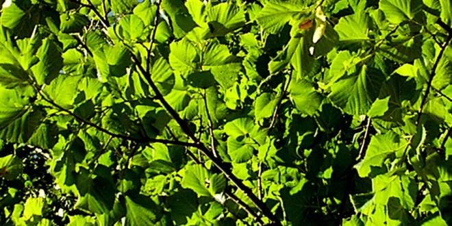 Дерево орешник или же лещина