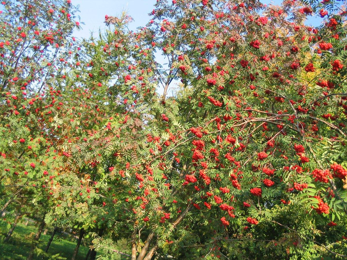 Можно ли пересадить на участок красную рябину из леса 22