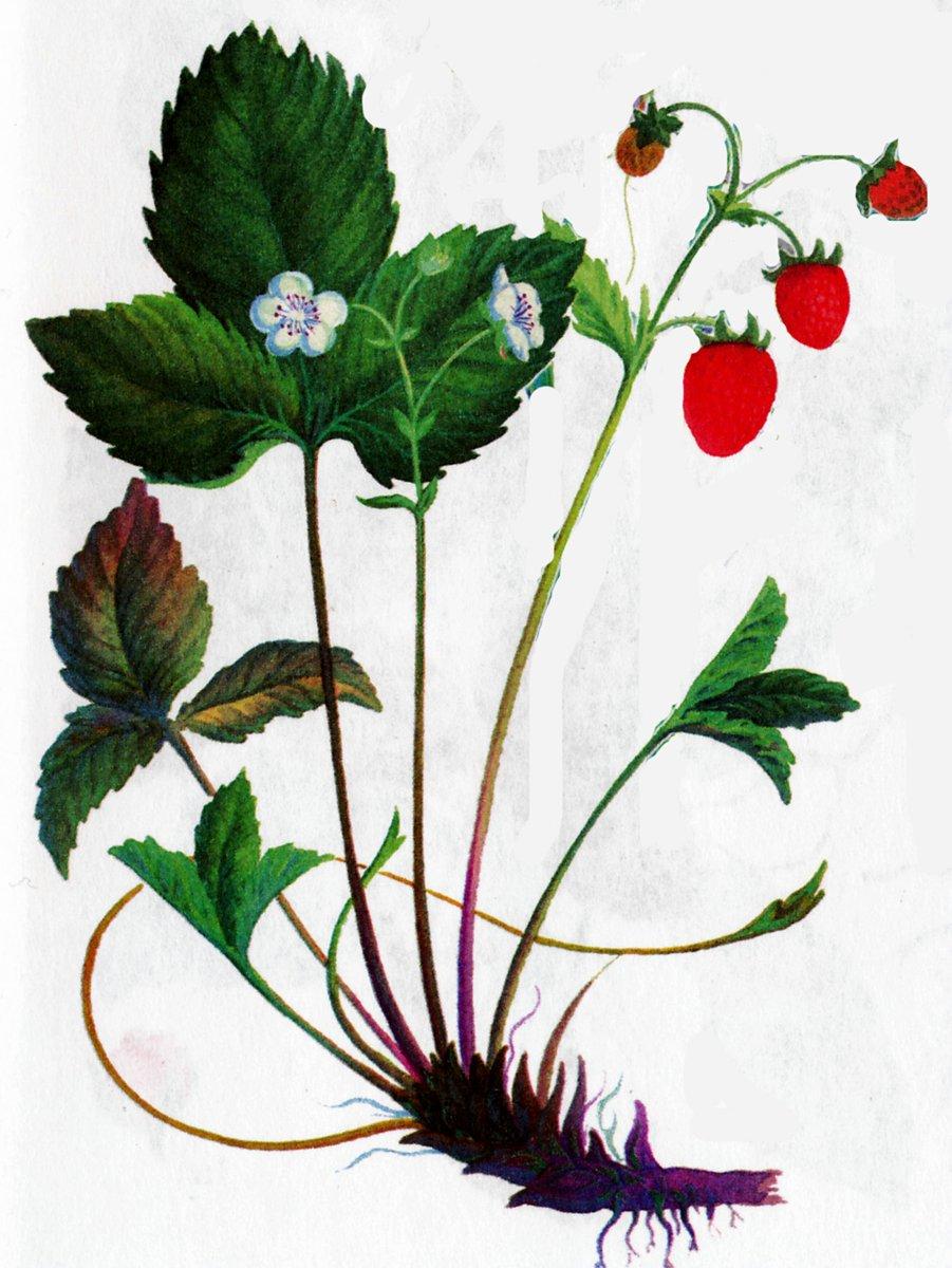 Земляника лесная или обыкновенная - Fragaria vesca L.