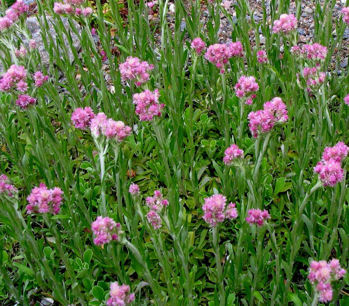 трава кошачьи лапки