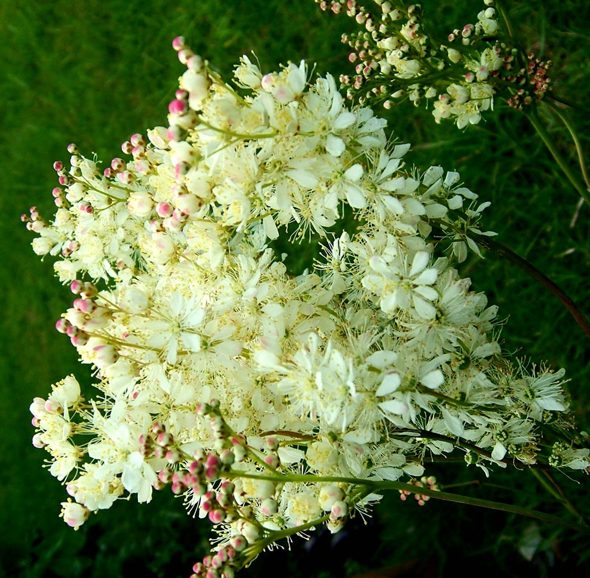 Чем полезна трава лабазник - АгрономWiki