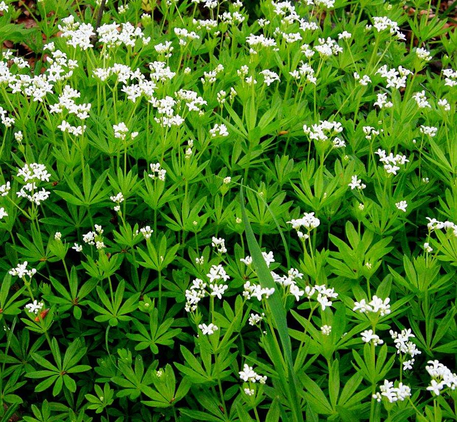 фото растения подмаренник