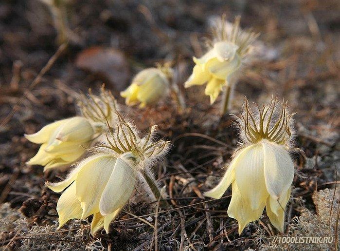 Сон-травы цветы