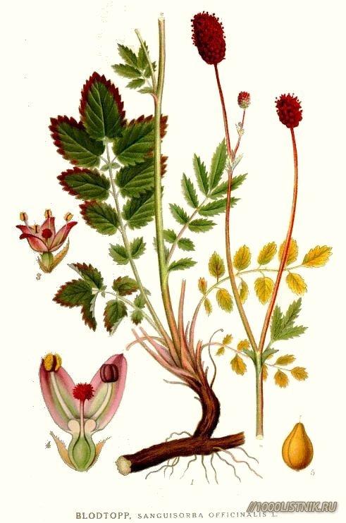 Кровохлёбки корневище и соцветия