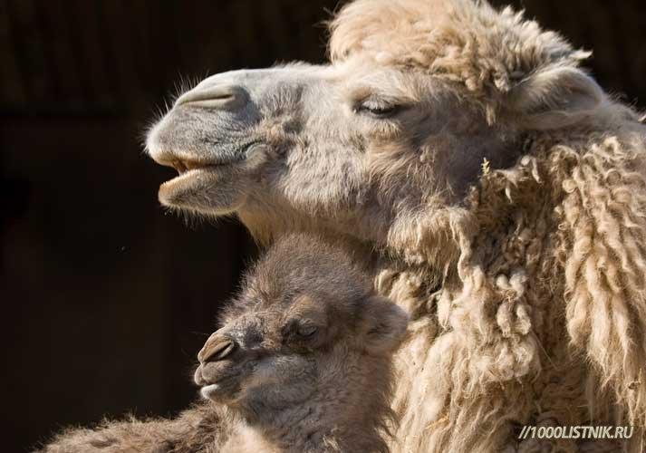 Лечение верблюжьей шерстью
