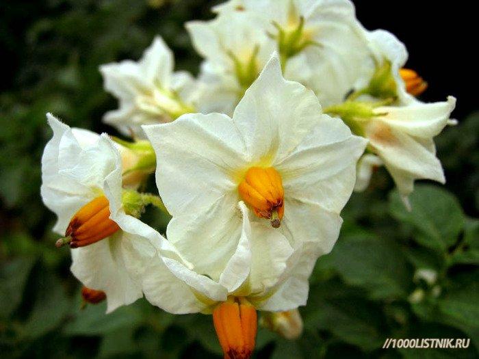 Картофеля цветки