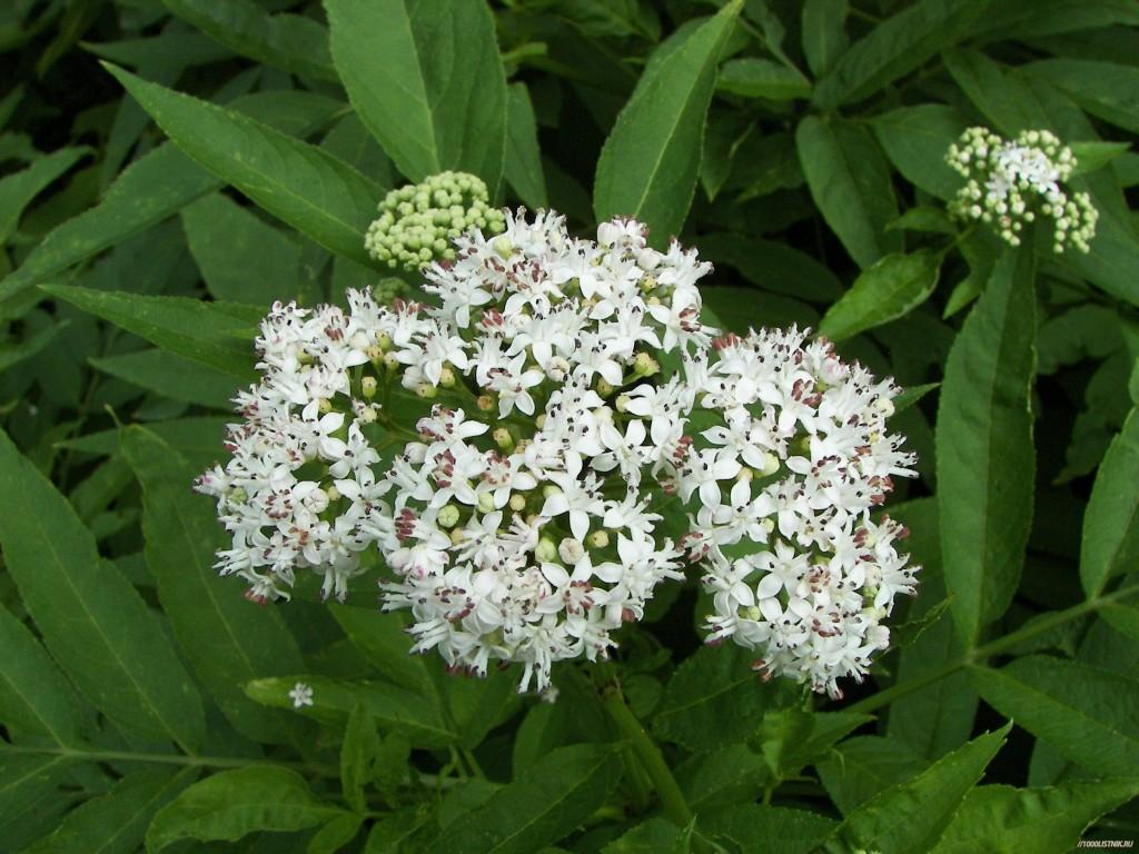 Цветки бузины