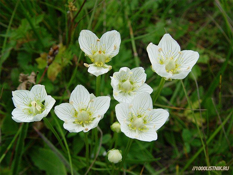 Цветки жерухи лекарственной