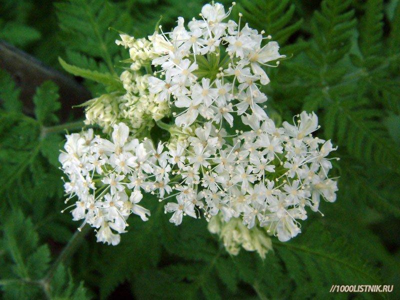 Цветки мирриса душистого