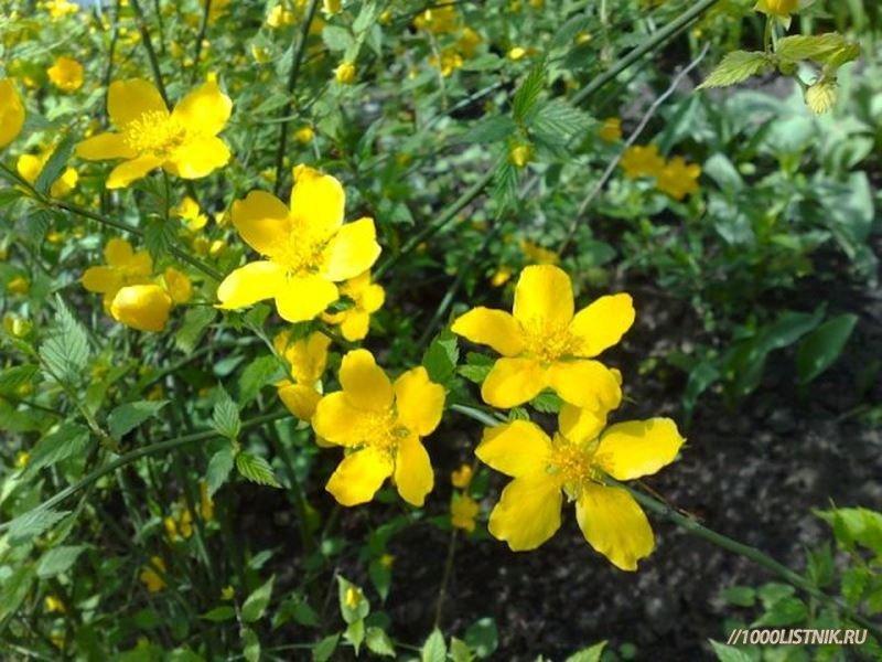 Цветки растения желтушник