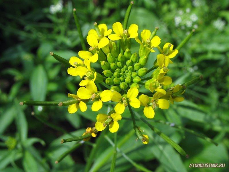 Соцветие растения желтушник