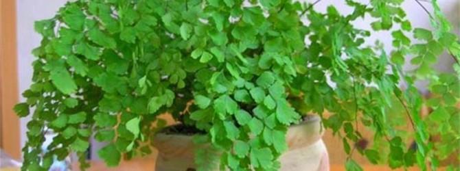 Адиантум венерин волос - комнатное растение