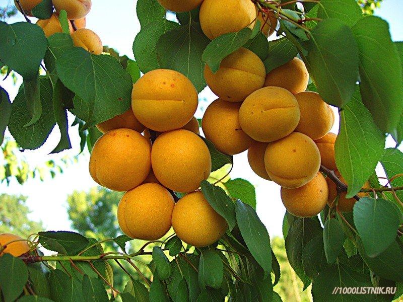 Плоды алычи желтой