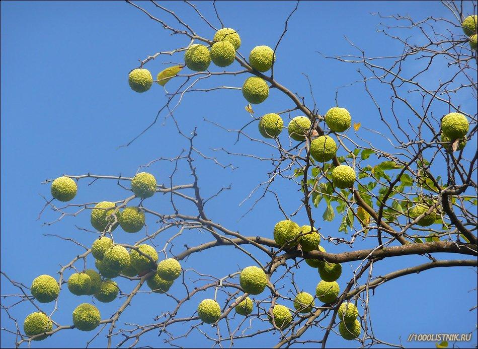 Дерево маклюра лечебная