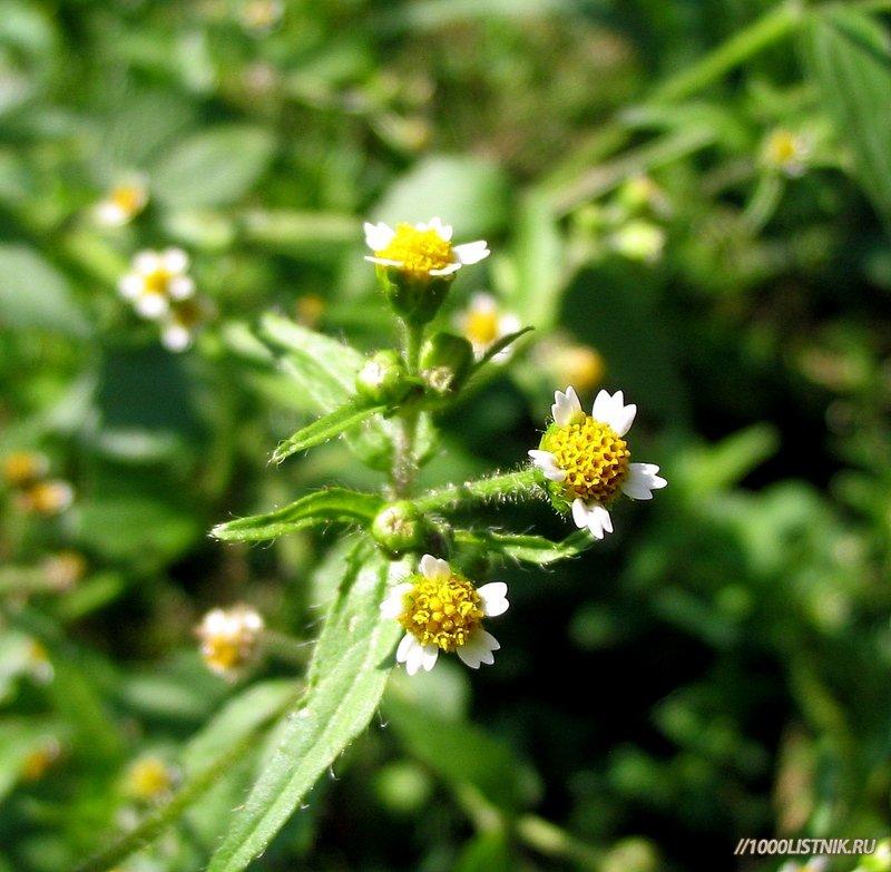 Цветы амброзии полынолистной