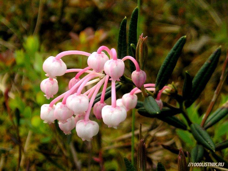 Цветение подбела многолистного