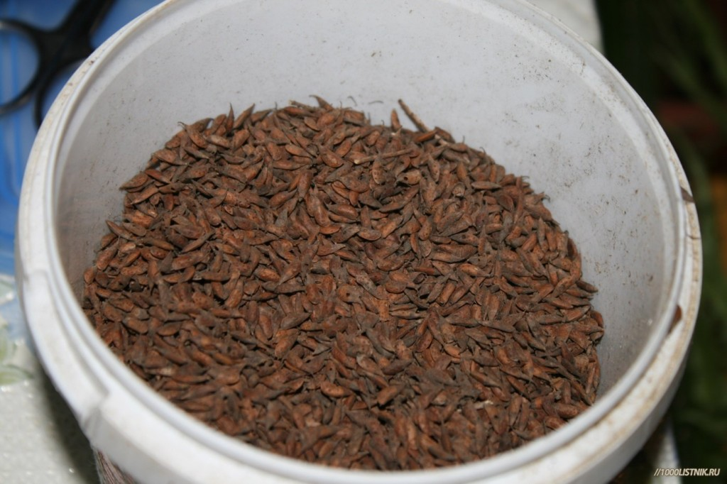 Семена аморфы кустарниковой