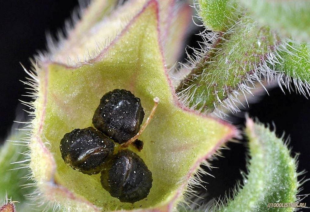 Семена и плоды погремка большого