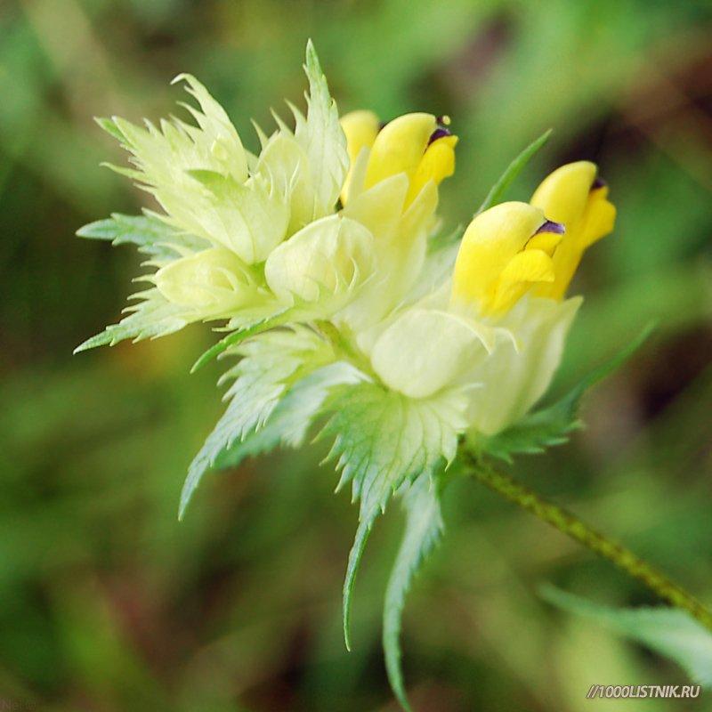 Цветок погремка большого