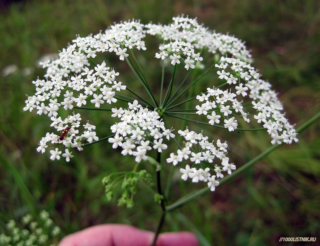 Бедренец камнеломка: цветение