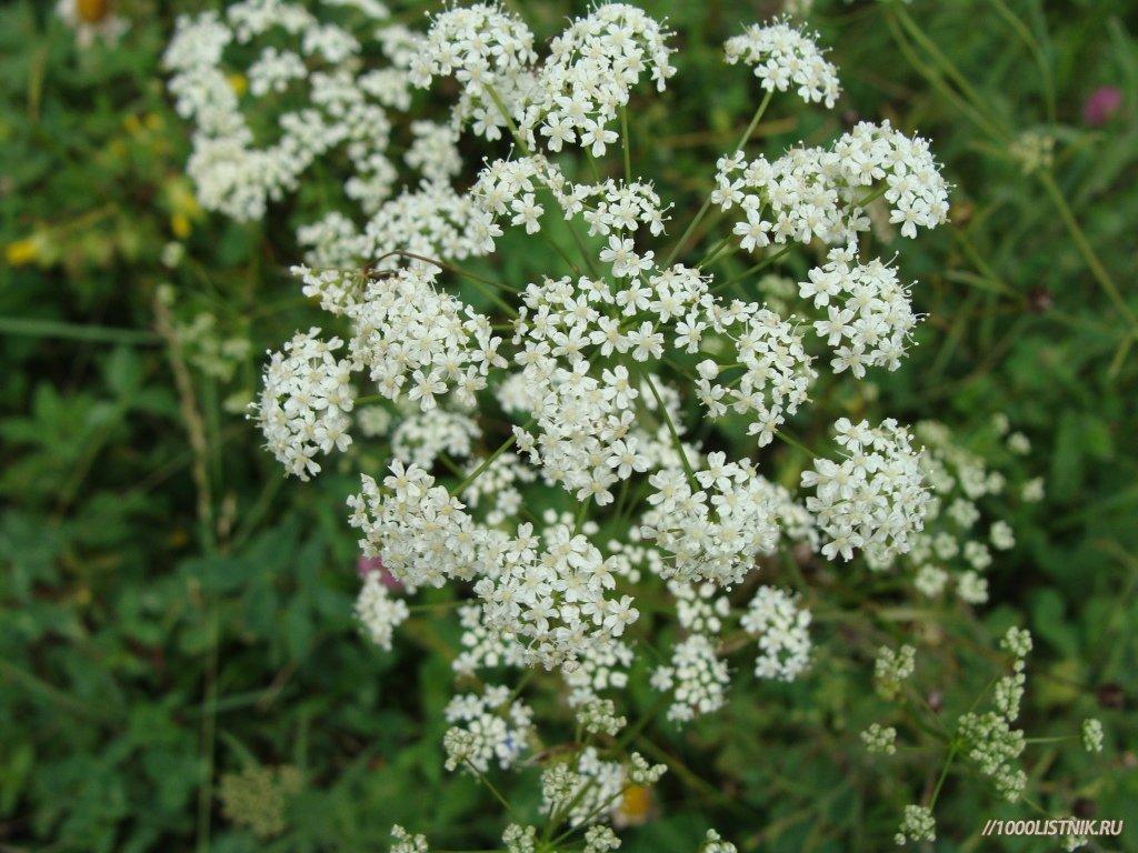 Бедренец: описание растения, химический состав, полезные свойства, применение в народной медицине.