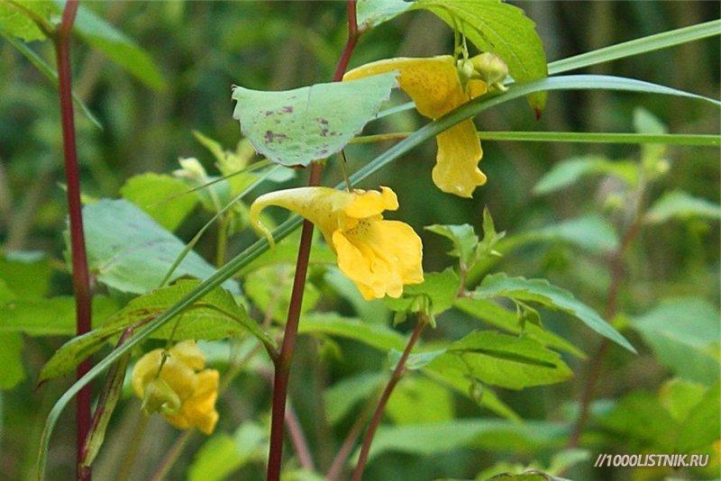 Цветы недотроги обыкновенной