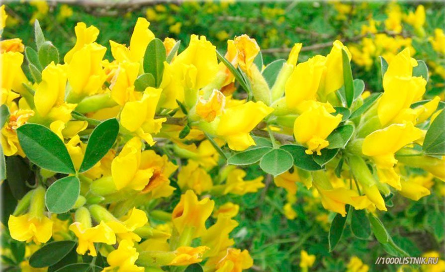 Цветение бобовника