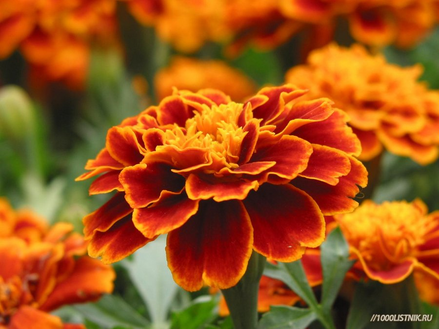 Цветение бархатцев мелкоцветковых