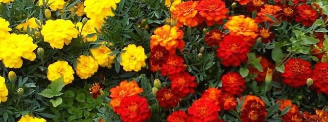 Бархатцы мелкоцветковые