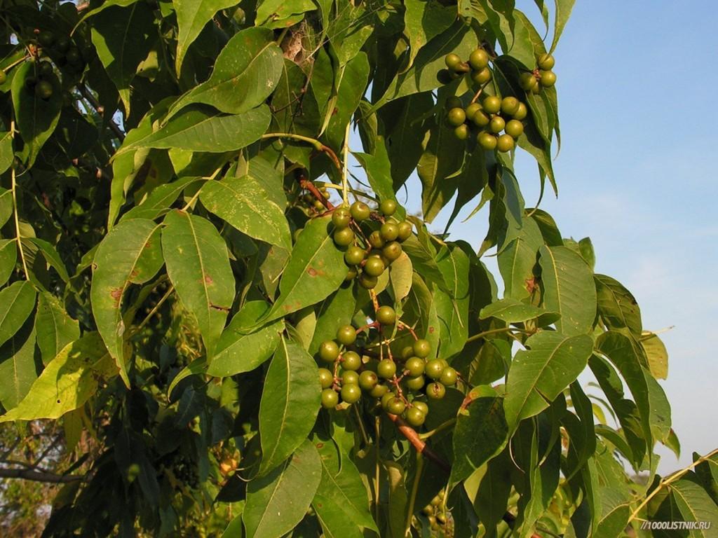 Бархат амурский: плоды