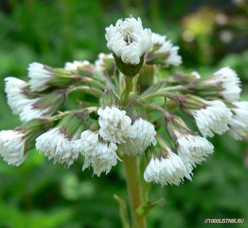 Цветение белокопытника