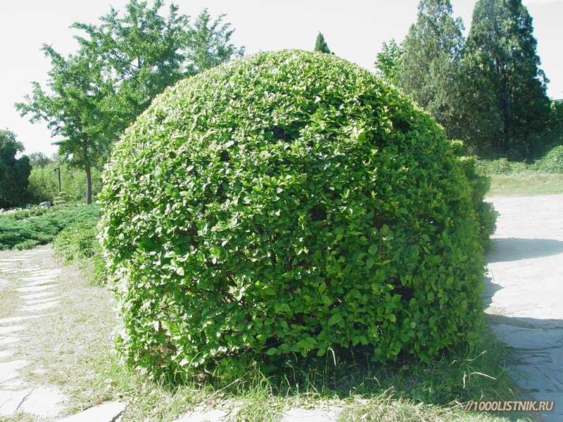 Бирючина - культурный кустарник