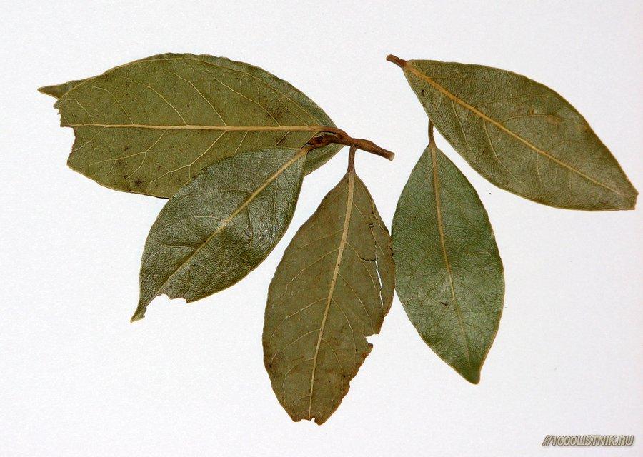 Из лавровых листьев делаем настойку для растирок, а также пьём мелкими глотками отвар, препятствующий образованию солей