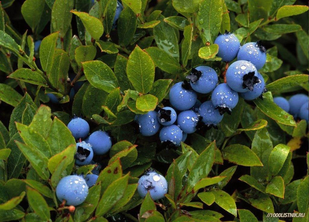 Листья черники не менее полезны, чем и её ягоды