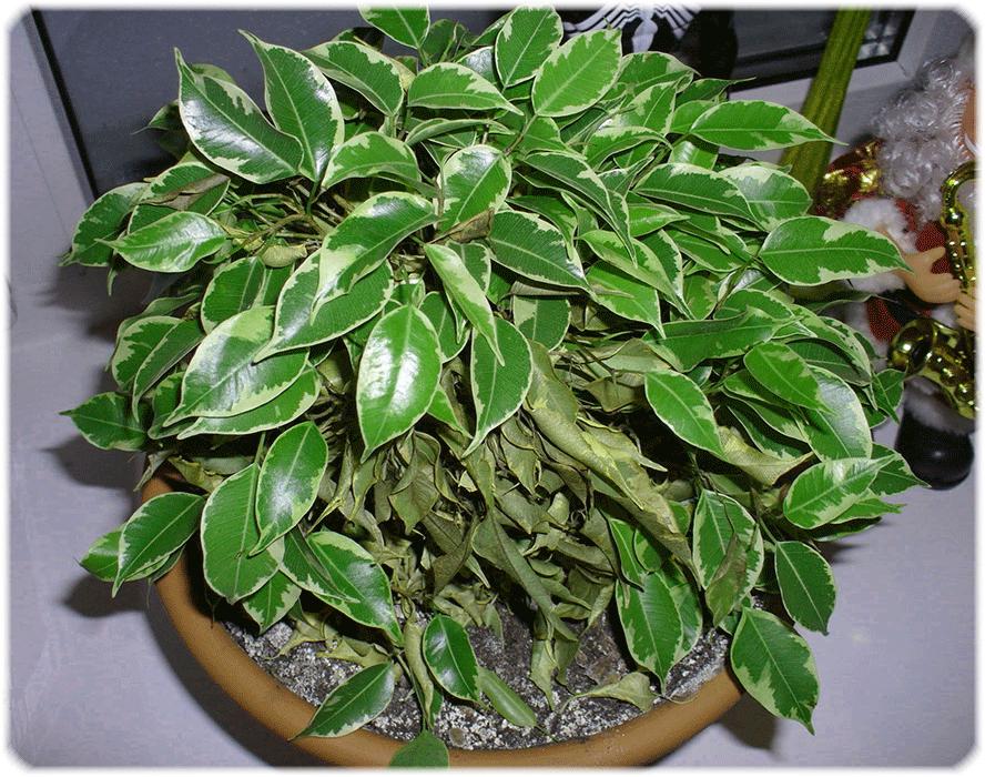 Комнатные растения – доноры