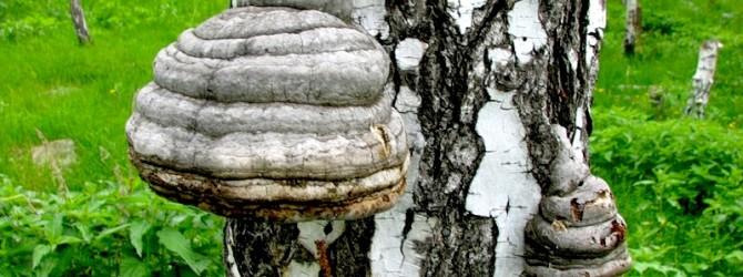 О пользе березового гриба чаги