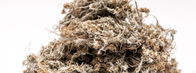 Лечебные растения: тмин и сушеница