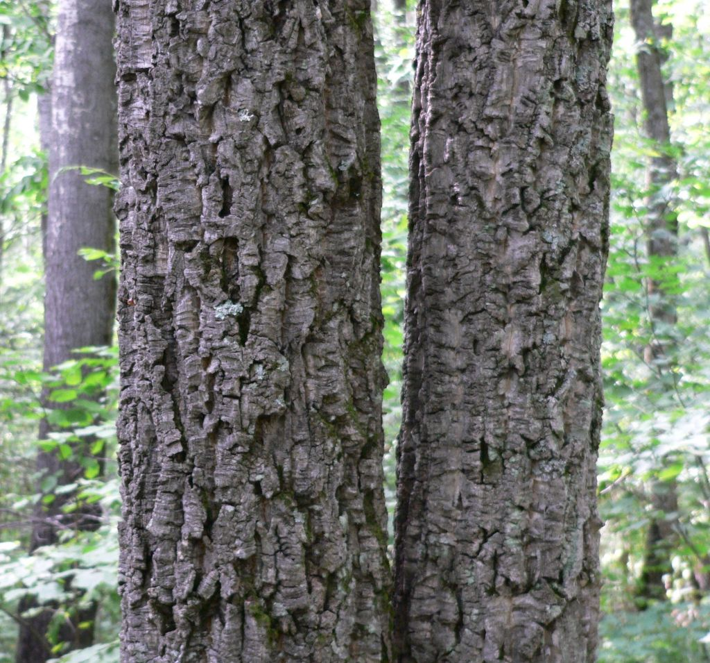 Бархат амурский или пробковое дерево