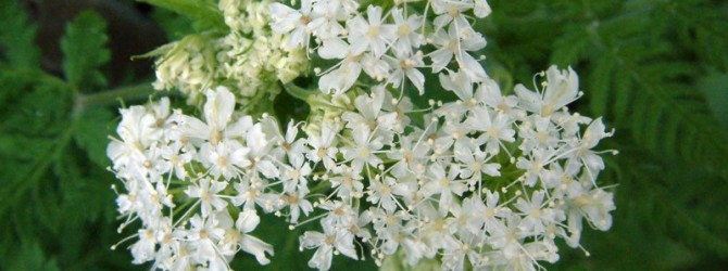 Миррис: характеристика растения и его применение
