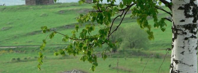 Деревья-доноры (часть 1)