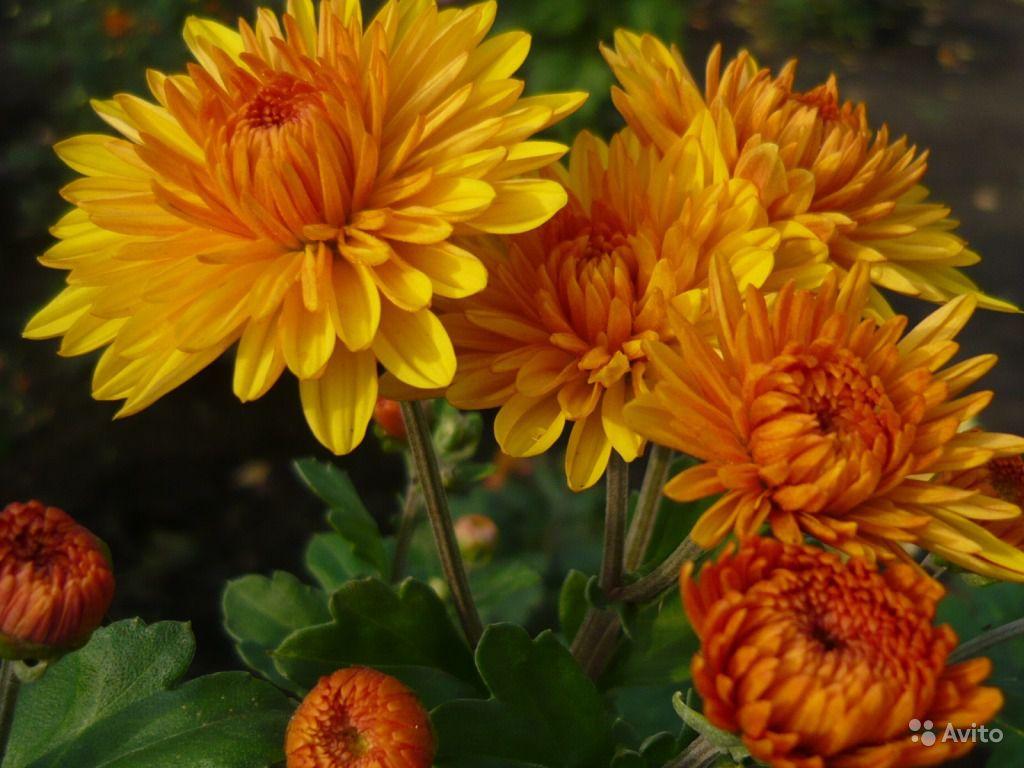 Цветок хризантемы от головной боли
