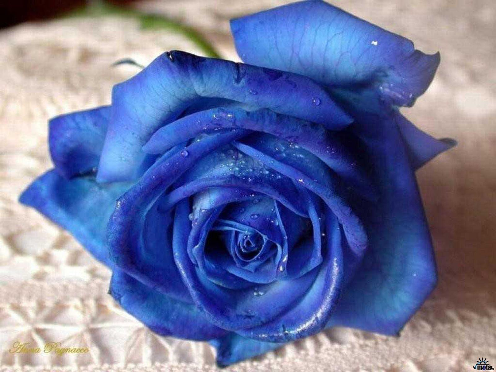 Народные рецепты: роза на рану