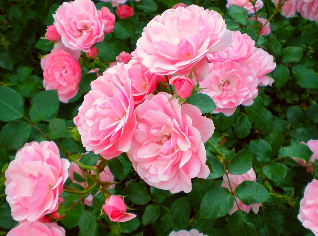 Лепестки красной розы для лечения диареи