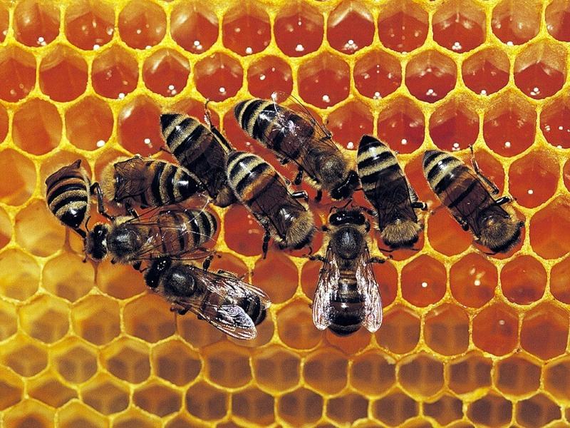 Свойства пчелиной перги