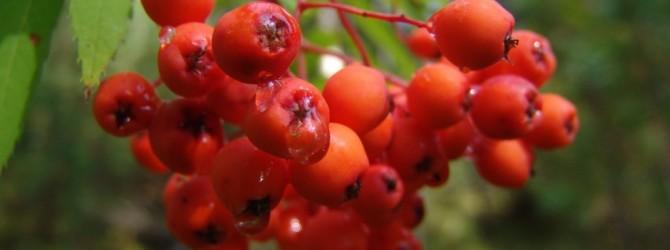Народные рецепты: красная рябина