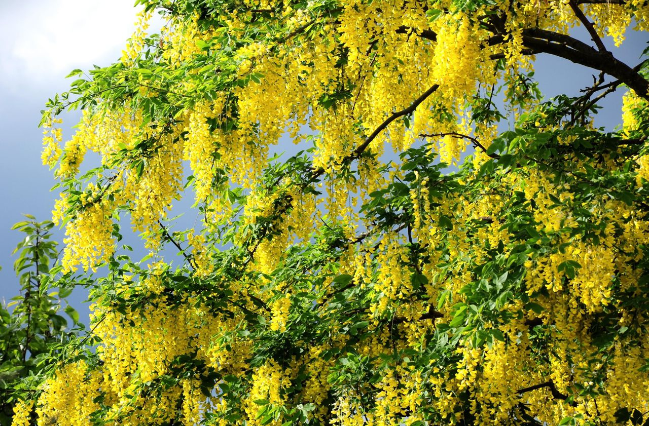 Акация желтая, карагана