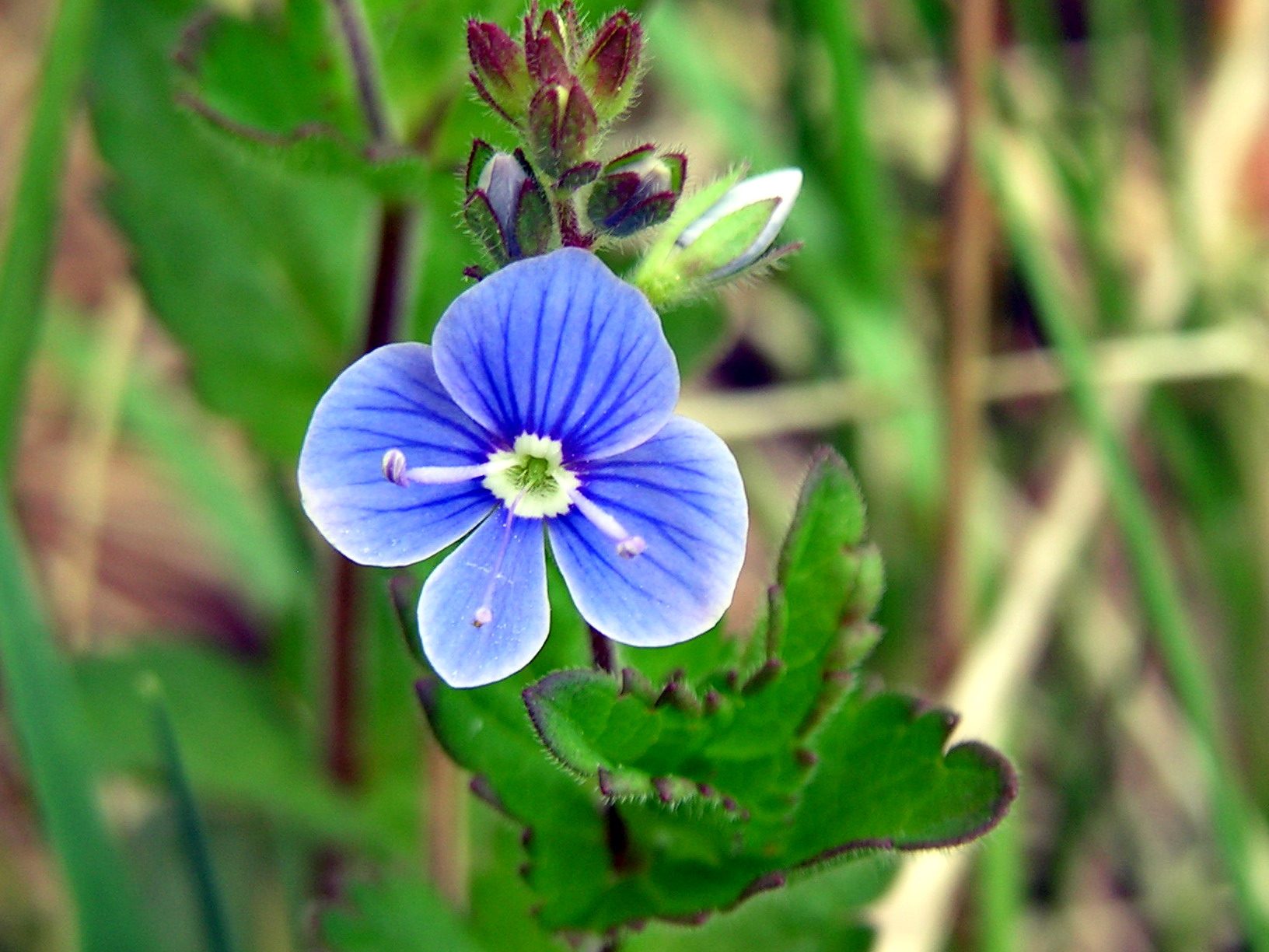 Фото цветка вероника дубравная
