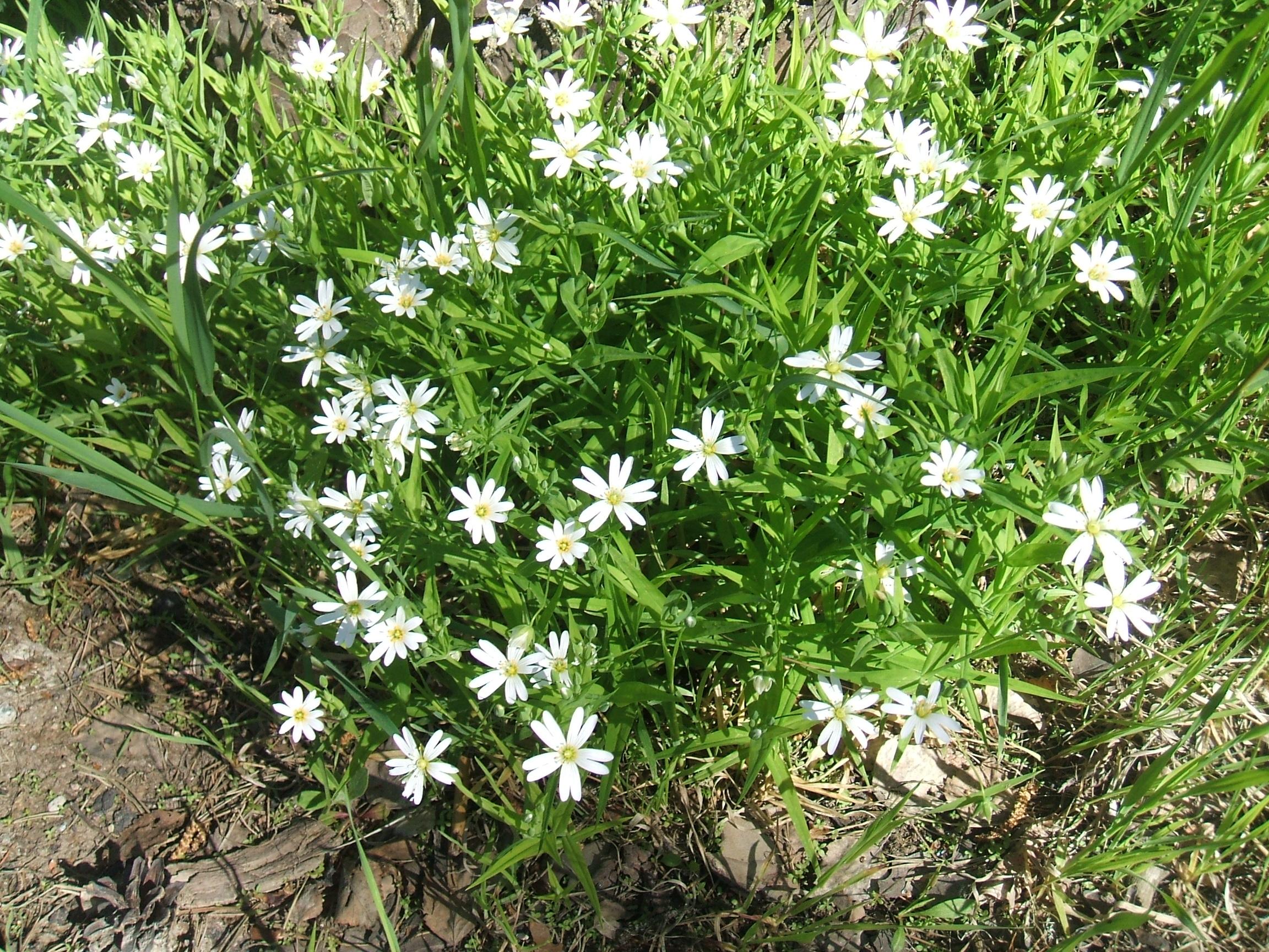 цветок звездчатка